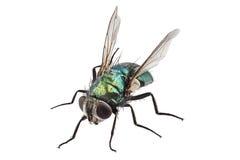 Lucilia caesar di specie della mosca di colpo Immagine Stock Libera da Diritti
