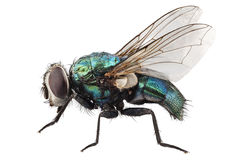 Lucilia caesar di specie della mosca di colpo Immagini Stock Libere da Diritti