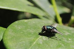 Lucilia Caesar, fly of Caliphoridae family sunbathing on Skinny Rhododendron leaf. In spring sun Stock Photo