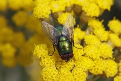 Lucilia sericata, Greenbottle fly Stock Image