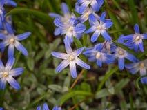 Luciliae Chionodoxa, το δόξα--ο-χιόνι του Bossier, δόξα--ο-χιόνι Lucile, Λουλούδια για τον κήπο, πάρκα, desi τοπίων στοκ φωτογραφία με δικαίωμα ελεύθερης χρήσης