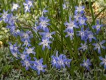 Luciliae de Chionodoxa, la gloria-de--nieve mas mandona Las flores para el jardín, parques, diseño del paisaje, encantaron atract imagen de archivo libre de regalías
