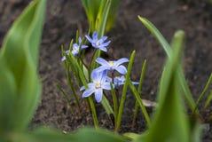 Luciliae di Scilla del fiore della primavera nel giardino Fotografia Stock Libera da Diritti