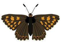 lucina hamearis бабочки Стоковые Изображения