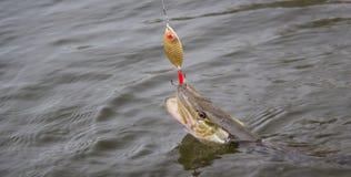Lucio de agua dulce con señuelo de la pesca en boca y el equipo de pesca Imagen de archivo libre de regalías