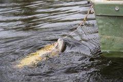 Lucio de agua dulce con señuelo de la pesca en boca y el equipo de pesca Fotos de archivo libres de regalías