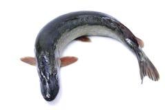 Lucio de los pescados aislado Imagen de archivo