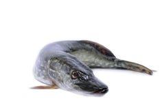 Lucio de los pescados aislado Fotos de archivo libres de regalías
