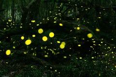 Lucioles à la forêt près de Burgas, Bulgarie Photos stock
