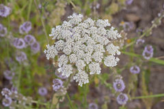 Lucious Bloom of Queen Anne's Lace Surrounded By Purple Flowers Stock Photo
