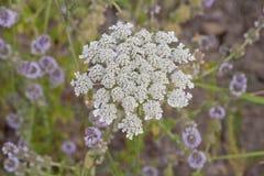 Lucious-Blüte der Spitzes der Königin-Anne umgeben durch purpurrote Blumen Stockfoto