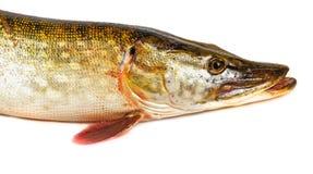 Lucius d'Esox de poissons de Pike Photographie stock libre de droits