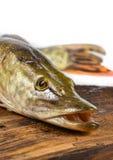 Lucius d'Esox de poissons de Pike Image stock
