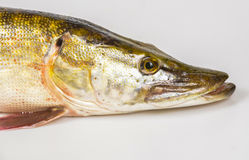 Lucius d'Esox de poissons de Pike Photographie stock