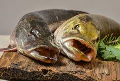 Lucius d'Esox de poissons de Pike Photo stock