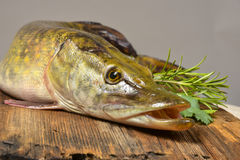 Lucius d'Esox de poissons de Pike Photos libres de droits