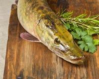 Lucius d'Esox de poissons de Pike Images stock