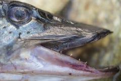 Lucius d'Esox - fin de poissons de brochet  Photographie stock libre de droits