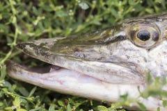Lucius d'Esox - fin de poissons de brochet dans l'herbe verte Photo libre de droits