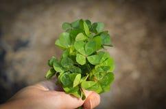 Luck clover stock photo