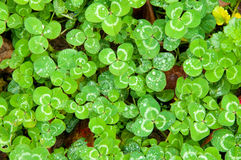Luck of the Irish. Clovers with Dew drops on their leaves Stock Image