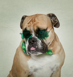 Luck of the Irish Bulldog. English Bulldog dressed up for St. Patrick's Day in his lucky Irish glasses and bowtie stock photography