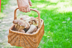 Luck mushroom picker. Basket with white porcini mushrooms. Hand mushroom picker carries a basket full of white mushrooms in the forest Stock Photo