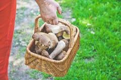 Luck mushroom picker. Basket with white porcini mushrooms. Royalty Free Stock Images
