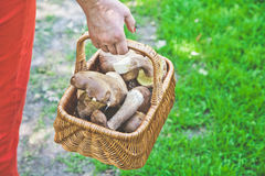 Luck mushroom picker. Basket with white porcini mushrooms. Hand mushroom picker carries a basket full of white mushrooms in the forest Stock Image