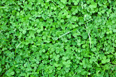 Luck should be sought. Meadow with lots of clovers Stock Images