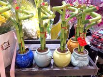 Lucky bamboo in pots. royalty free stock image