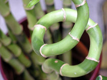 Lucky bamboo. High depth of field stock photo