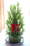 Lucky bamboo Royalty Free Stock Photo