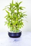Lucky bamboo. On blue table Royalty Free Stock Images