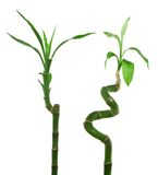 Lucky bamboo. Two lucky bamboo isolated over white background Stock Photo