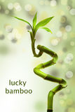 Lucky bamboo. With bokeh backround royalty free stock photos