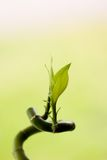 Lucky Bamboo. With leafs on green clean background Stock Photography
