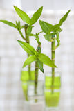 Lucky bamboo Stock Photos