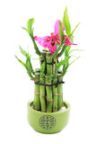 Lucky bamboo Royalty Free Stock Images