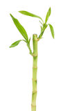 Lucky Bamboo Royalty Free Stock Image