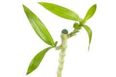 Lucky Bamboo Royalty Free Stock Photography