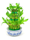Lucky bamboo. (Dracaena sanderiana) in a traditional chinese porcelain pot Stock Photo