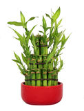Lucky Bamboo. In a Red Ceramic Pot Isolated on a White Background Stock Images