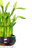Lucky bamboo Royalty Free Stock Photos