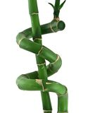 Lucky bamboo against white Stock Images