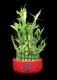 Lucky Bamboo on Black. Lucky Bamboo in a Red Ceramic Pot Isolated on a Black Backfground Royalty Free Stock Photos