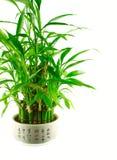 A lucky bamboo bush in a pot Royalty Free Stock Photography