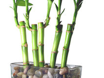 Lucky Bamboo Close Up. Close up of 5 stalks of lucky bamboo in a glass dish with river rocks Royalty Free Stock Photos