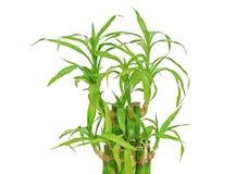 Lucky bamboo (Dracaena sanderiana) Stock Images