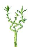 Lucky Bamboo Dracaena Sanderiana Stock Foto